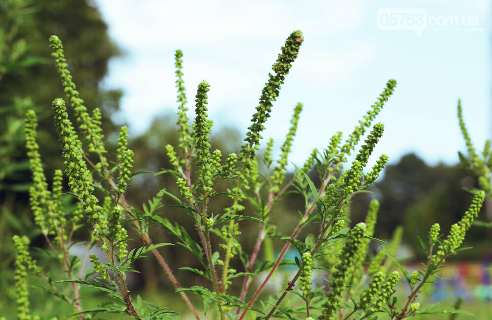 В Дергачах начался сезон амброзии: как ее нужно уничтожать и куда обращаться, фото-3